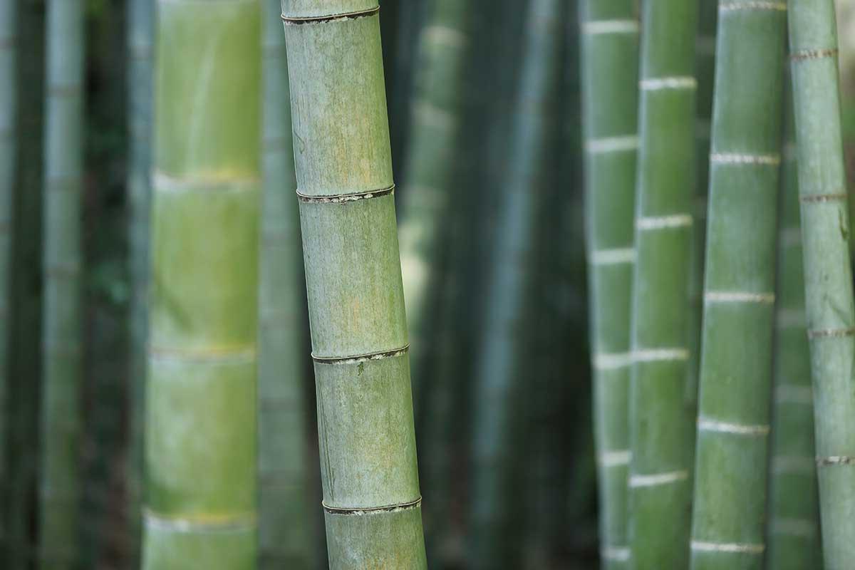 Bamboo Interior Plant